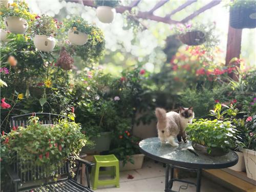萌宠当家?一只美国犬和温江新主人的幸福花园阳台