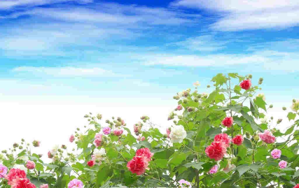 为什么芙蓉花是成都的市花,在这里你就能找到答案